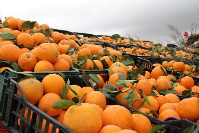 Збір апельсинів в Іспанії