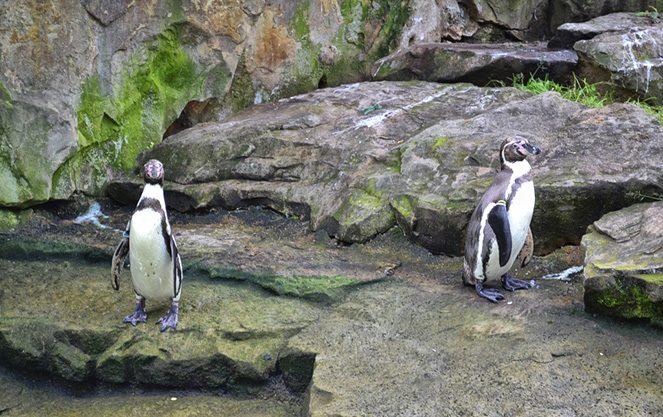 Пінгвіни у берлінському зоопарку