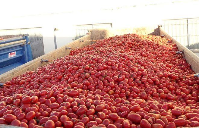 Свято помідор