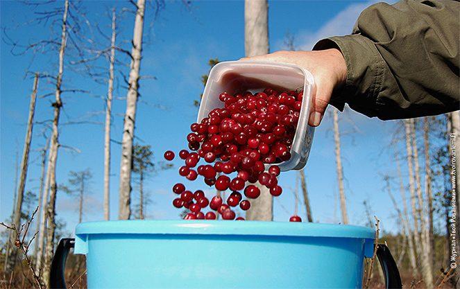 Збір ягід у фінляндії